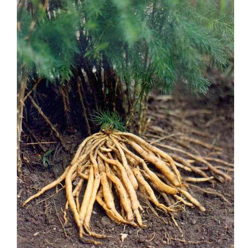 A019 Asparagus Racemosus Botanical Roots_2