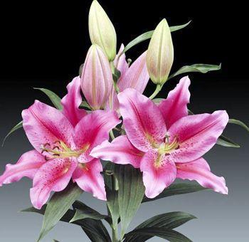 Oriental Lilium_3