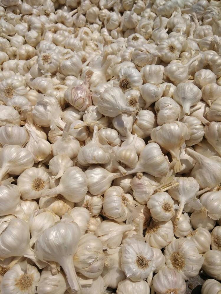 Fresh Garlic_2