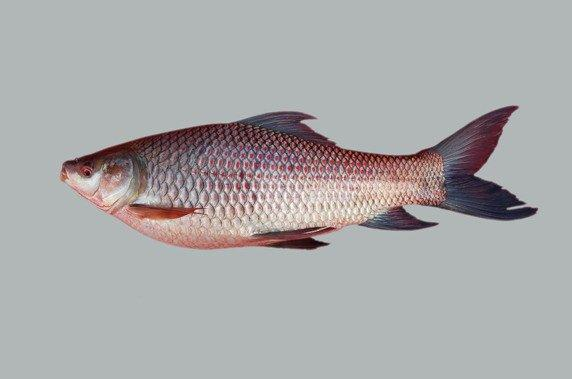 Frozen Basa Fish Skin,Dried Tilapia Scale,All kind of Frozen seafood ,Organic Chemicals,Animal feed & Spices & Grains._8