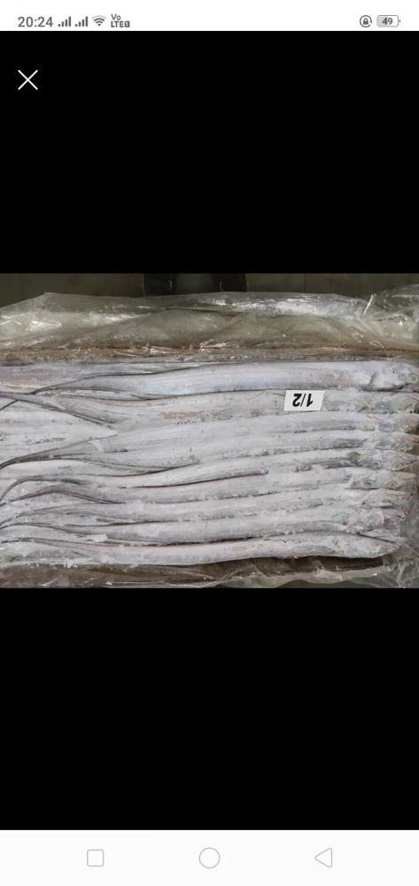 Frozen Ribbon Fish Whole A Grade_2