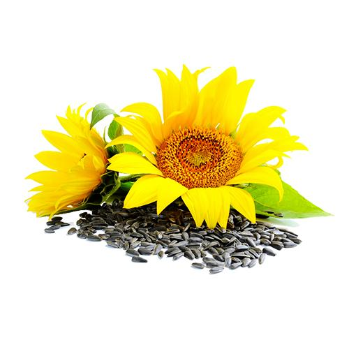 Sunflower seed_2