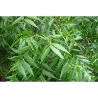 A018 Azardirachta Indica Botanical Fruits Leaves Seeds