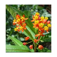 A020 asclepias curassavica botanical flowers leaves roots