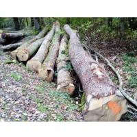 European white oak logs – BC grade
