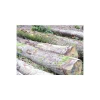 European white oak logs – ABC grade