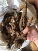 Costus root (qust al hindi)