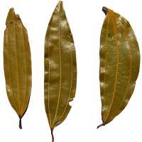 Bay Leaf (Tejpatta)