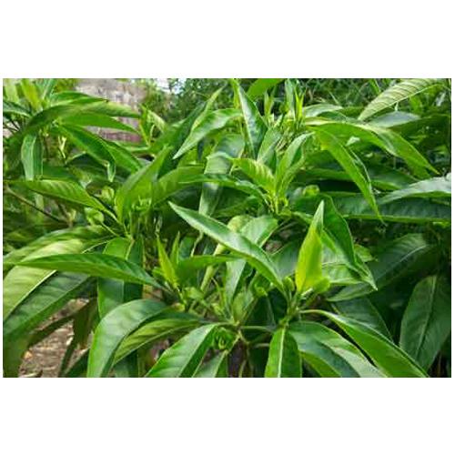 A003 adhatoda vasika botanical leaves