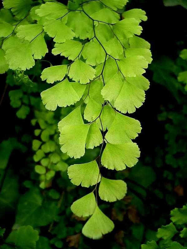A004 adiantum capillus botanical leaves
