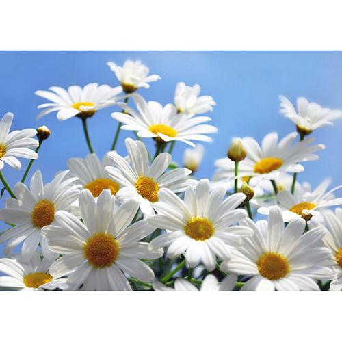 A014 anthemis nobillis botanical flowers