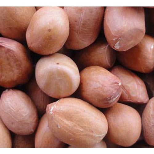 BHAGWATI SEEDS 22/24 GROUNDNUT IN SHELL