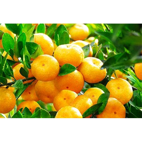 Fresh Mandarins_3