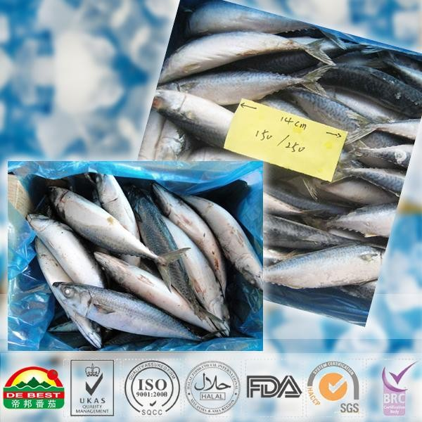 Frozen pacific mackerel_2