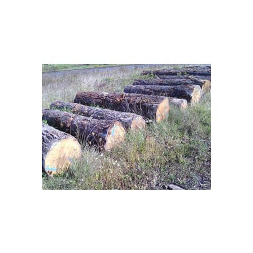 European white oak logs – AB grade_2