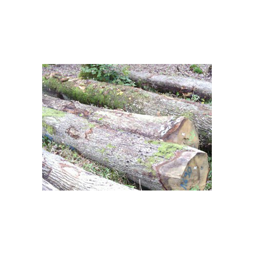 European white oak logs – ABC grade_2