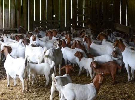 Full blood boer goats for sale