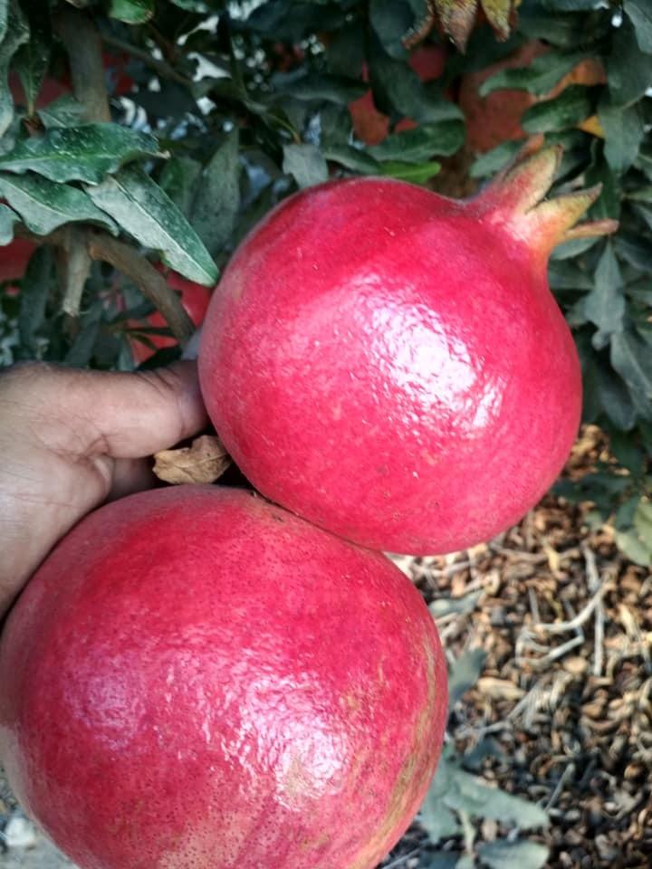 Fresh pomegranate_5