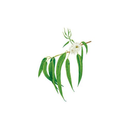 Essential oils - eucalyptus