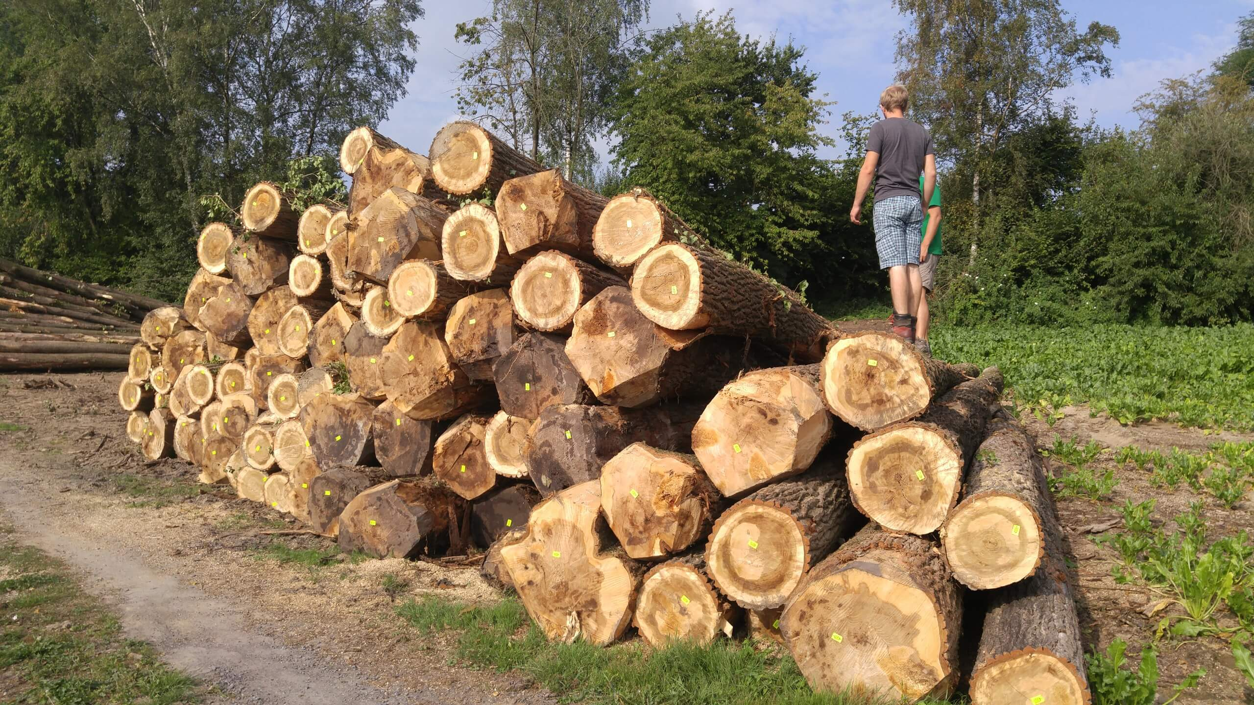 Logs-poplar